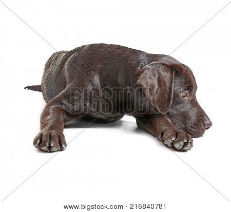 Chocolate labrador retriever on white background