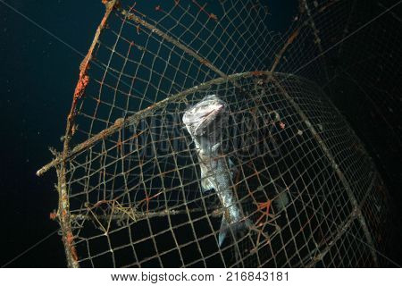 Dead fish stuck in abandoned fishing net. Environmental problem of overfishing