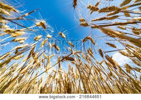 Golden wheat field with blue sky in background Close up of ripe wheat ears