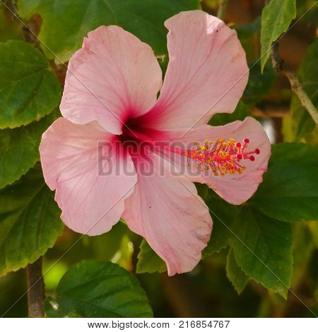 Large pale pink hibiscus flower with long pink stamen, in green foliage