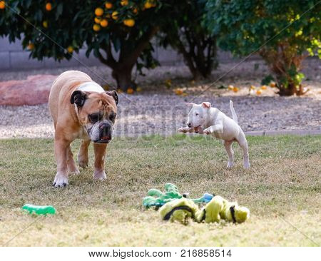 Little white bull terrier puppy pouncing on a bulldog at the park