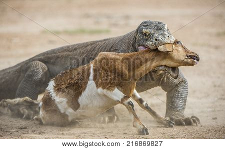The dragon attacks. The Komodo dragon attacks the prey. The Komodo dragon Varanus komodoensis is the biggest living lizard in the world.On island Rinca. Indonesia.
