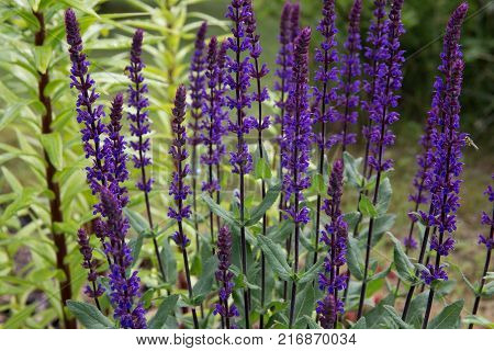 Background or Texture of Salvia nemorosa 'Caradonna' Balkan Clary , in a Country Cottage Garden in a romantic rustic style. Latvia