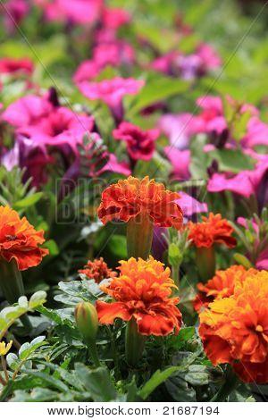 Marigolds and Petunias