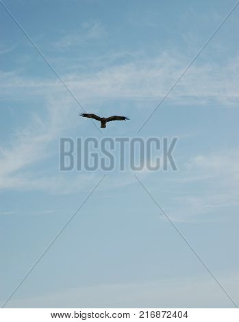 A hawk against a blue sky with white clouds. The hawk is hovering with its wing feathers stretched.