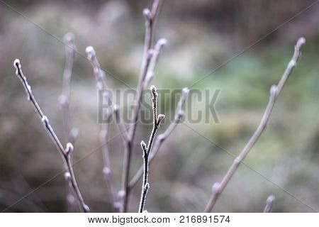 Tree in snow. Winter green background. Branches covered with hoarfrost