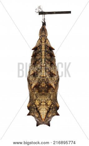 A grey prickly pupa of the forest, or common, mother-of-pearl butterfly, Salamis, or Protogoniomorpha, parhassus, isolated on white background. Pupae is a stage between caterpillars and butterflies.