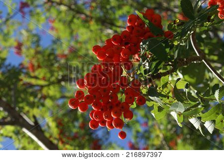 Closeup view of these bright Snake Berries found growing in the Natural World of Ontario Canada.