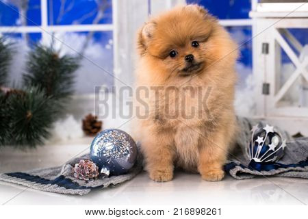 Spitz Pomeranian or Spitz-dog in studio on a christmas background
