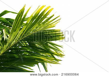 Green Palm Leaf Isolated On White Background