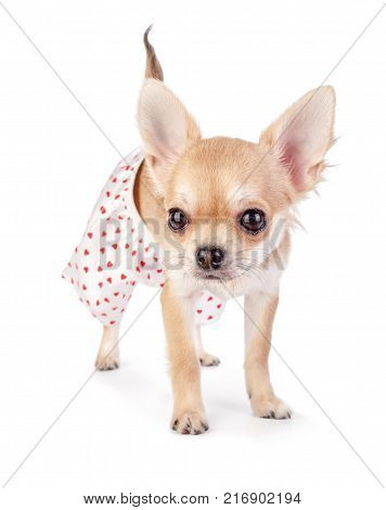 Cute Chihuahua Puppy Dressed In Funny Panties With Red Hearts Standing Isolated On White Background