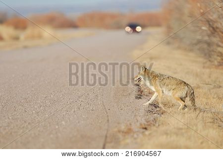 A healthy coyote near the edge of a gravel road with an oncoming vehicle in the background.