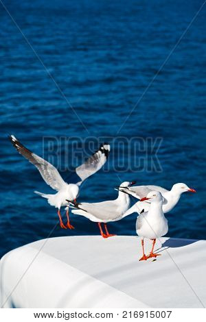 Catamaran Deck Lots Of Free Seagull Near The Sea