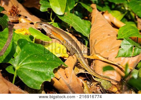 Common sun skink or East Indian brown mabuya among the leaf litter. Bali, Indonesia