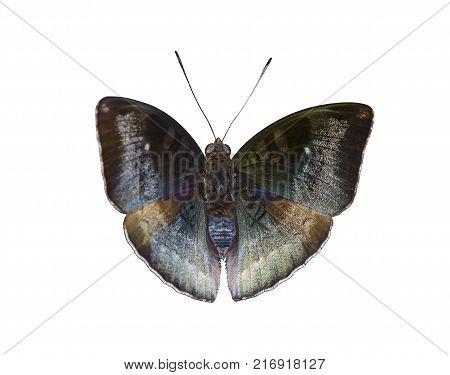 Isolated Common Evening Brown Butterfly ( Linnaeus Melanitis ) On White