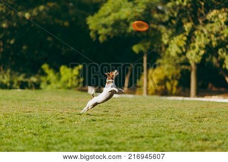 Small Funny Dog Catching Orange Flying Disk On The Green Grass. Little Jack Russel Terrier Pet Playi