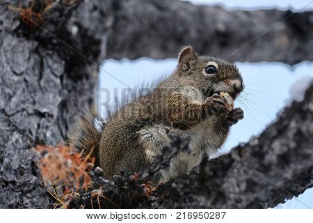 Squirrel with nut. Funny wild animal squirrel eating nut on larch tree brunch. Fall in Canadian Rockies. Alberta. Canada.