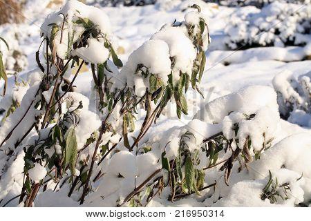 Herbs under snow in herbal rustic home garden. Winter salvia officinalis.