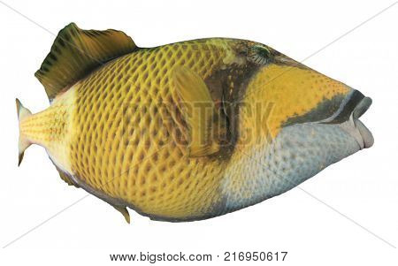 Titan Triggerfish reef fish isolated on white background
