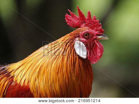 Red Junglefowl seen in bird park