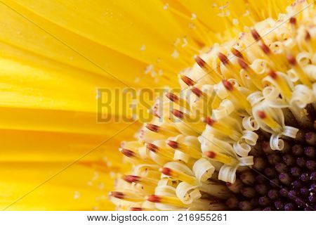 Diagonal blurred floral  yellow background. Close-up gerberas petals as sunbeams and stamens with pollen.