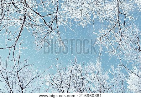 Winter natural view of winter frosty tree tops. Winter background - frosty branches of the winter trees under snowfall. Winter forest background, winter treetops covered with frost. Snowy winter landscape