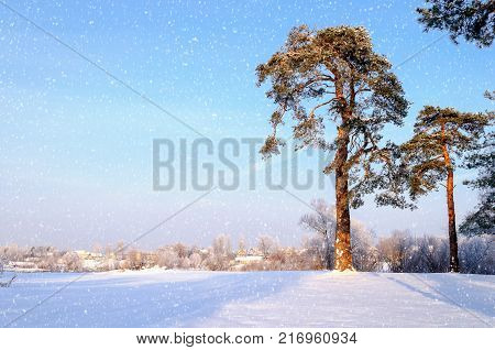Winter landscape. Frosty high pine winter trees in winter forest and houses on the background. Sunny winter landscape scene, winter forest with pine trees covered with winter frost.