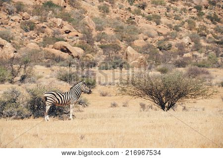 Lonely Burchell's zebra photographed in the arid and rocky savanna of Namibia matte style