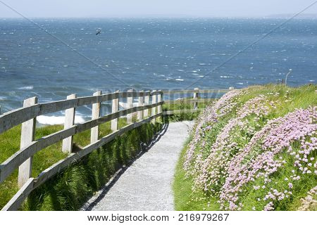 cliff walk path and wild flowers in ballybunion county kerry ireland