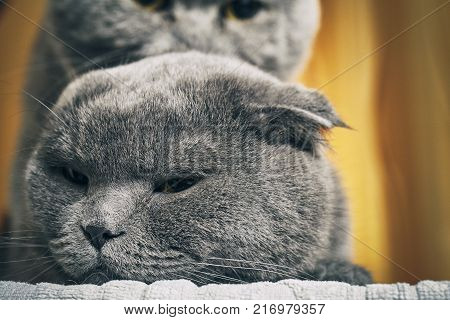 Scotland lop-eared female cats and british shorthair male cat are mating indoors