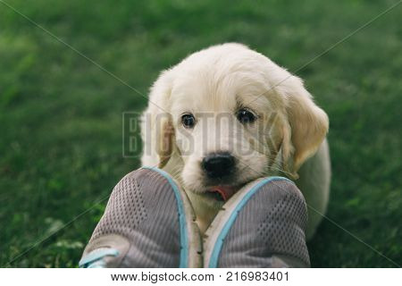 Puppy Golden Retriever pup licks sneakers outdoors