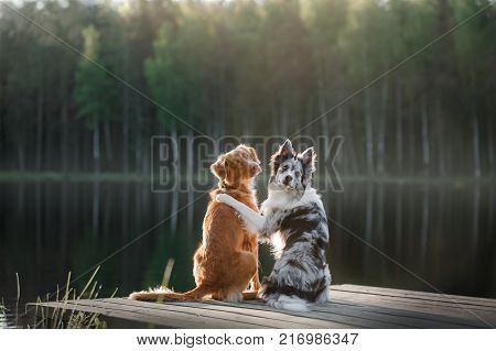 Dog Nova Scotia duck tolling Retriever and the border collie sitting on the river Bank