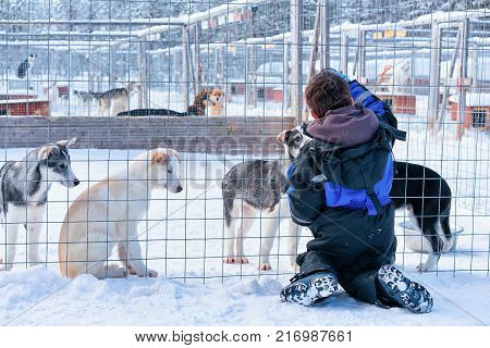Child playing with husky puppies in enclosure in Rovaniemi Lapland Finland