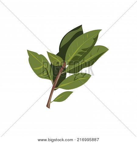 Vector bay leaf branch isolated on white background stock art
