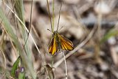 Ochlodes faunus large skipper butterfly at rest poster