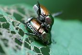 Japanese Beetles mating on devoured grape leaf poster