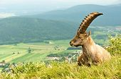 Alpine goat in warm tones with mountains in the background poster