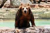 An adult bear coming out of the water. poster