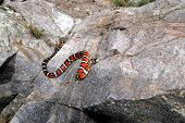 This brightly colored and beautiful Sonora mountain kingsnake is crawling up a large rock. poster