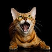 Aggressive Bengal Cat with mad eyes opened mouth hiss on isolated on Black Background, Front view poster
