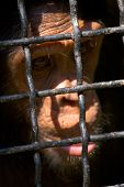 sad face of chimpanzee behind rods of cage poster