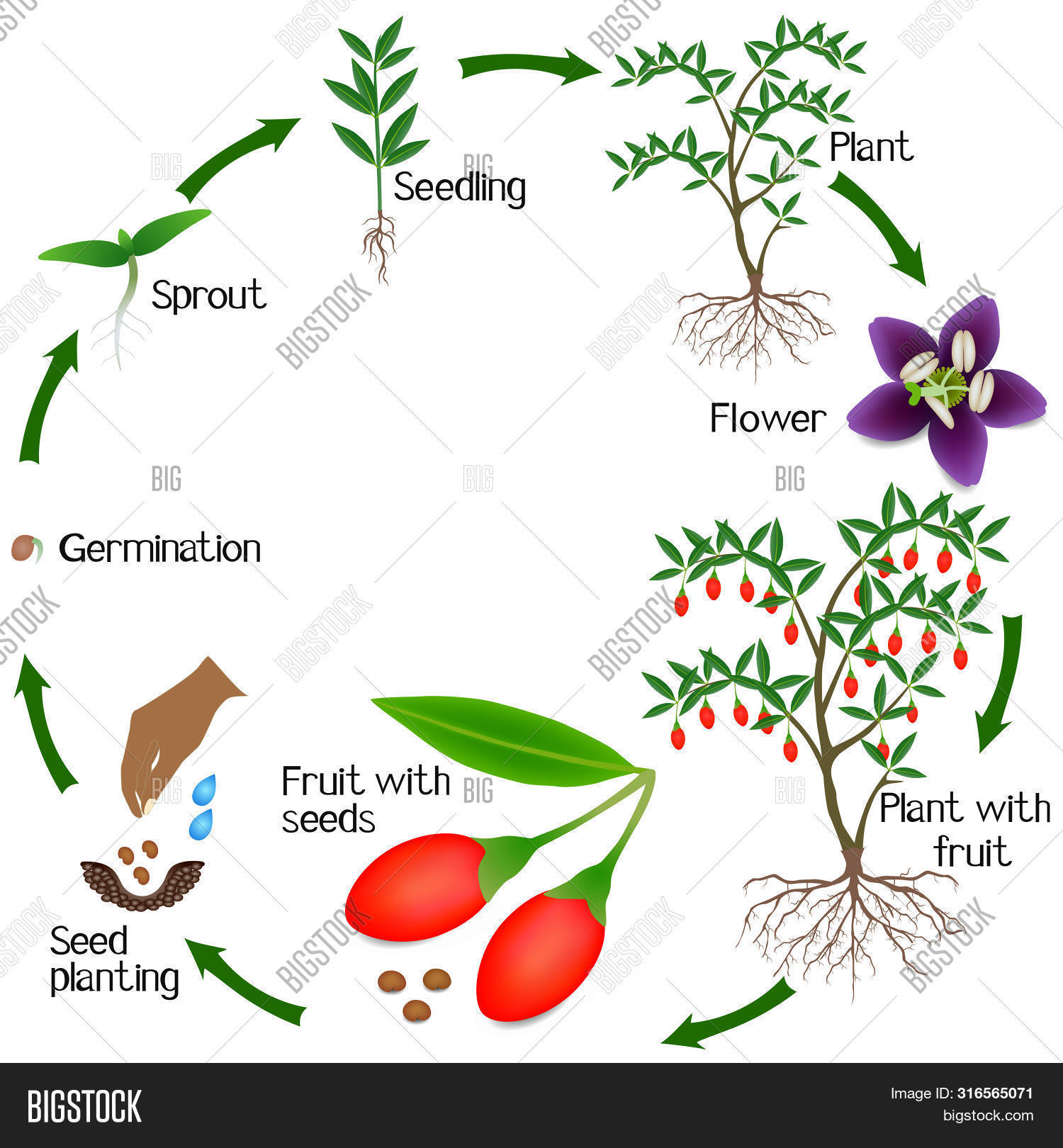 Growth Cycle Goji Vector Photo Free Trial Bigstock