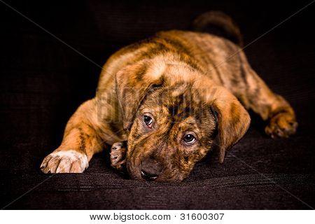 Presa Canario Puppy