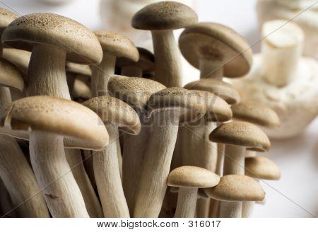 Hon Shimeji Mushrooms