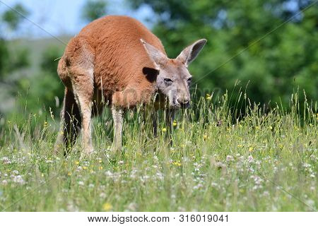 Portrait Of A Red Kangaroo (macropus Rufus) In A Grassy Meadow