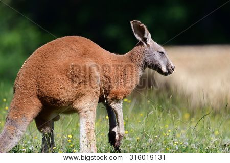 Side View Of A Red Kangaroo (macropus Rufus) In A Grassy Meadow
