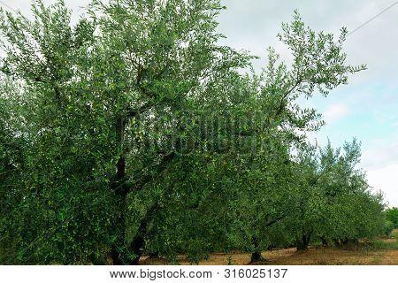 Olive Trees , Tarragona, Oil, Oleic Acid, Healthy Fat