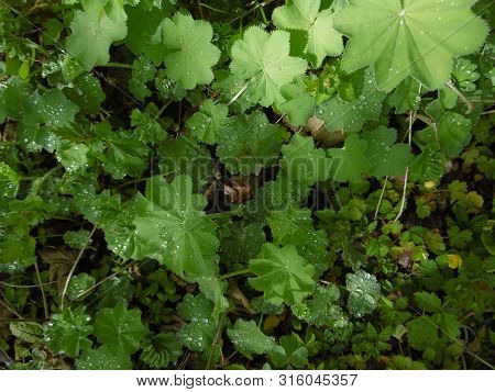 Water Droplets Rest On Leaves Of Plants On Woodland Floor