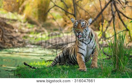 A Female Bengal Tiger After Killing A Spotted Deer Coming Under Shade Of Tree And Water Body To Cool