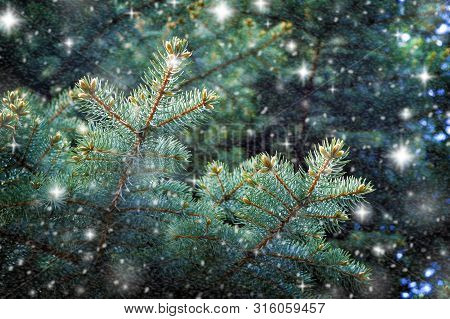 Winter Background With Falling Snow, Winter Branches Of Pine Tree. Winter Nature.snowy Winter Backgr